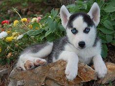 cute siberian husky puppies with blue eyes | Zoe Fans Blog