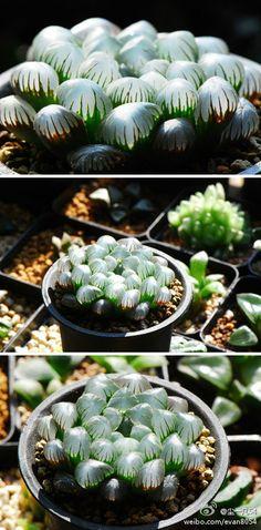 "A type of ""window"" plant, probably a Haworthia."