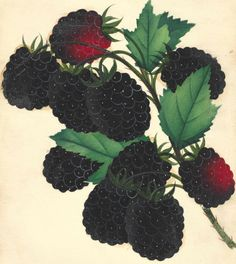 1880s Rare Antique Blackberry Print Fruit Original Chromolithograph Erie by catladycollectibles on Etsy