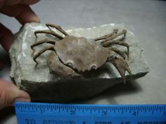 Fossil Crab with LegsName: Xanthopsis dufouriAge: Eocene - 40 million yrsFormation: ----Location: Northern Spain