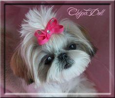Tiny Teacup Shih Tzu | Shih-Tzu Beauties !!