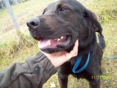 Griffin is an adoptable Labrador Retriever Dog in Grand Rapids, MI. Hi! My name is Griffin. I am a chocolate lab mix, around a year old, I weigh around 60 lbs. Im a happy go-lucky boy. I love to be b...