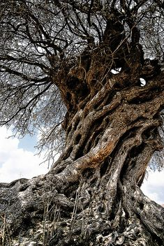 an old Olive tree - taken in Central Cyprus.