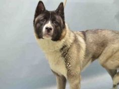 Brooklyn Center CONSUELA – A1060979  FEMALE, WHITE / BLACK, AKITA MIX, 4 yrs STRAY – STRAY WAIT, NO HOLD Reason STRAY Intake condition EXAM REQ Intake Date 12/19/2015, From NY 11207, DueOut Date12/22/2015   Urgent Pets on Death Row, Inc