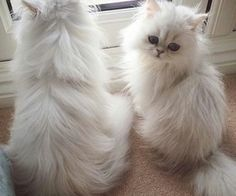 Persian Cat Gallery - Cat's Nine Lives Cute Baby Cats, Cute Cats And Kittens, Cute Baby Animals, Kittens Cutest, Animals And Pets, Funny Animals, Pretty Cats, Beautiful Cats, Animals Beautiful