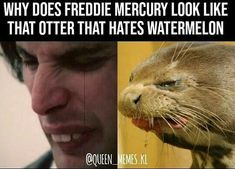 Why does the otter that hates watermelon look like Freddie Mercury? Queen Art, I Am A Queen, Queen Meme, Queen Photos, We Will Rock You, Queen Freddie Mercury, Killer Queen, Music Memes, Band Memes