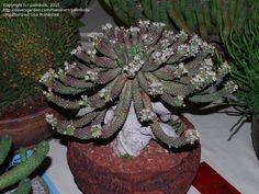 PlantFiles Pictures: Euphorbia (Euphorbia inermis) by palmbob