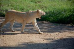 Side View, Hd Photos, South Africa, Safari, Wildlife, Animals, Animales, Animaux, Animal