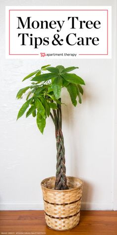 The Easy-to-Grow Money Tree is Also Considered Very Lucky - House Plants - ideas of House Plants - Money Tree Plant Care Growing Plants Indoors Money Tree Plant Care, Tree Care, Ficus, Garden Plants, House Plants, Indoor Garden, Outdoor Gardens, House Plant Care, Herb Garden
