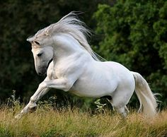 Gorgeous Cielo (Lusitano stallion) and owner Allison captured most beautifully! Description from indulgy.com. I searched for this on bing.com/images