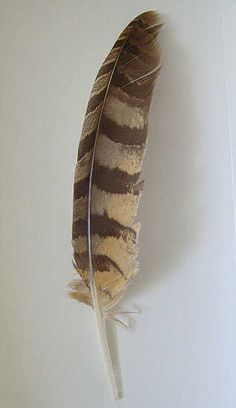 Red-shouldered hawk tail feather found by Del at Timberlane, Photo by & Copyright 2010 by Bobby Matherne
