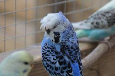 Wilco Mosterd's budgie  at - https://www.facebook.com/photo.php?fbid=644757362313335