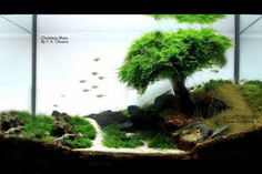 Xmas Moss-live Plant For Shirakura Shirmp Aquarium