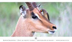 Ox pecker on an Impala Impala, Ox, Giraffe, Wildlife, Animals, Animales, Felt Giraffe, Animaux, Animal