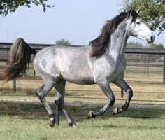 Andalusian stallion.