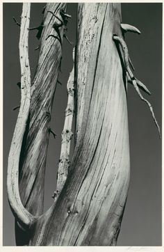 Ansel Adams:  Dead Tree  Dog Lake, Yosemite National Park  (1936)