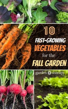 Speedy vegetable plants are a good choice for fall gardening. They can be used to fill in spots in the vegetable garden where plants have been harvested or grown in containers for a portable garden space. Sow them in August & September and they can be ser #wintervegetablegardening