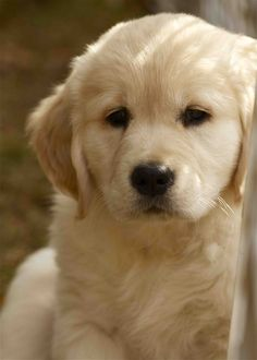 Golden Retriever Puppy.  How could you resist that face?!