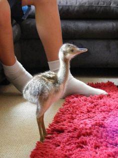 Meet Arnold Baby Ostrich at 2 Days old. http://ift.tt/2ikPDpr