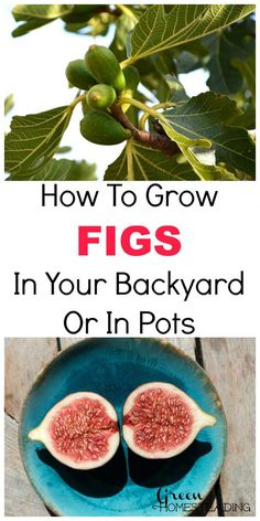 How To Grow Figs In Your Backyard And Fig Trees In Pots Figs are one of the most iconic trees for gardeners. They produce delicious fruit and are one of the most attractive trees you can place in y… Veg Garden, Fruit Garden, Edible Garden, Garden Plants, Growing Fruit Trees, Growing Veggies, Growing Plants, Hydroponic Gardening, Container Gardening