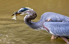 Great Blue Heron with fish on the C&O canal
