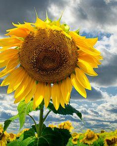 Fine Art Photography - Sunflower Yellow- Home Office Bedroom Nursery Decor - 8 x 10 photograph via Etsy