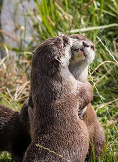 This is probably the most awkward otter hug you'll ever see, probably.