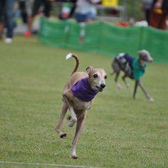 WEBSTA @ rintamaray - 闘争心のないテッサはゆるりと走りました🐶☘️Tessa runs in a relaxed stylePhoto by @shiratamamocchi #italiangreyhound #イタグレ #iggy #running #run #海おさ #umiosa #zoomies #dogsofinstaworld #iggiesofinstagram