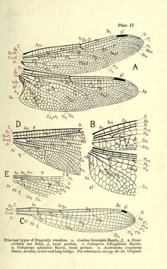 nemfrog — Principal types of Dragonfly venation. Dragonfly Drawing, Dragonfly Wings, Dragonfly Photos, Botanical Illustration, Illustration Art, Illustrations, Dragonfly Illustration, Types Of Dragonflies, Scientific Drawing