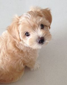 Maltipoo Sumo, Dog of pet parent Claire Super Cute Puppies, Baby Animals Super Cute, Cute Baby Dogs, Cute Little Puppies, Cute Dogs And Puppies, Baby Puppies, Cute Little Animals, Cute Funny Animals, Doggies