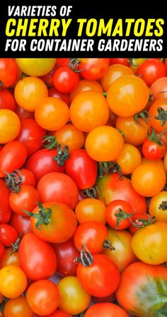 Varieties of Cherry Tomatoes for container Garden - Grow cherry tomatoes in pots and containers. Growing Cherry Tomatoes, Growing Grapes, Growing Tomatoes In Containers, Grow Tomatoes, Growing Plants, Cherry Tomato Plant, Tomato Plants, How To Grow Cherries, Grow Strawberries