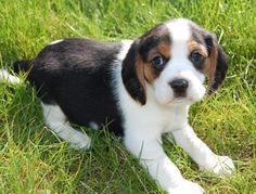 Beaglier puppy!