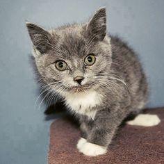 Fabulous Fiona!  #wcr #secondchance #WingingCat #catsofinstagram #cat #cats #kitty #kitten #atlanta #petsmart #mcdonough #georgia #adopt #rescue #rescuecat #savealife #network #sheltercat #foreverhome #furreverhome #hipstercats #meowbox #adoptdontshop @meowbox @catsofinstagram