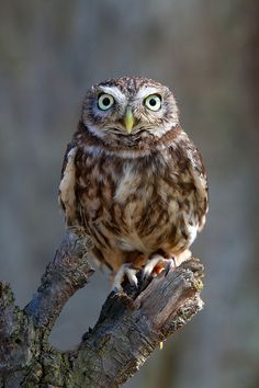 Little Owl doesnt want to find out how many licks it takes to get to the center of the tootsie roll lollipop