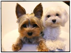 Yorkie & Maltese...2 of my favorite dog breeds. Bentley and Brody!!!