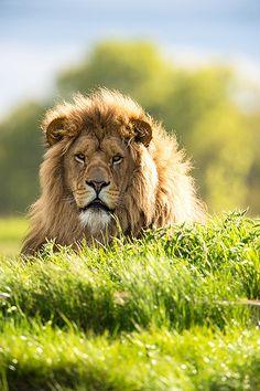 ♂ Amazing nature wild life photography animals lion at Yorkshire Wildlife Park