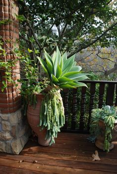 Agave attenuata, burro's tail sedum and a Greek terracotta oil jar from the island of Crete. Tropical Garden Design, Tropical Landscaping, Landscaping Plants, Tropical Plants, Landscaping Ideas, Outdoor Plants, Outdoor Gardens, Agave Attenuata, Mexican Garden