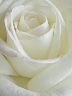A Rose Is A Rose Is A Rose by Bonnie J. Hagelberger Yellow Roses, White Flowers, White Roses Wallpaper, Little White, Black And White, Beauty Full, Beautiful Roses, Soul Mates, Wallpapers