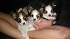 Papillon puppies.. I love!