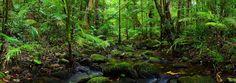 Daintree Rainforest, Australia UNESCO World Heritage Daintree Rainforest is one of Australia's most popular destinations. Queensland Australia, Australia Travel, Daintree Rainforest, Panoramic Images, Landscape Photographers, Amazing Nature, National Parks, Around The Worlds, Tours
