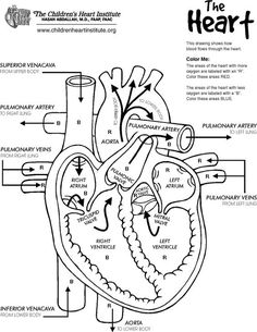 anatomy of the heart: