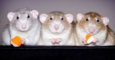 I've Spent Years Photographing Rats To Break The Negative Image Of Rats By Taking Cute Pics Of Them   Bored Panda