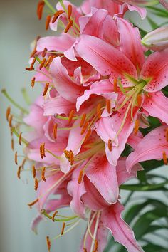 never seen a pink tiger lily, usually orange with black spots. Exotic Flowers, Flowers Nature, Amazing Flowers, My Flower, Pink Flowers, Beautiful Flowers, Lilies Flowers, Asiatic Lilies, Tulips