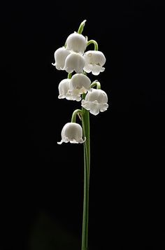 The delicate Lily of the Valley, its perfume so delicious:):);)touchn2btouched