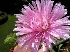astern - Google-Suche, Blumenbilder -Astern