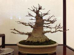 Japanese Maple with terrific taper, nebari and base.  This tree won Members Choice-Shohin deciduous/broad leaf evergreen.