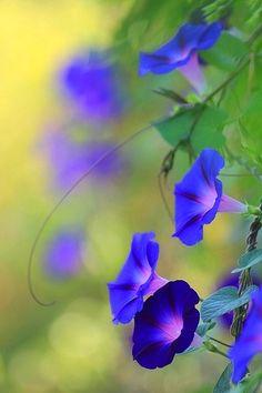 Volubilis -my favorite flower, blue morning glory My Flower, Pretty Flowers, Flower Power, Purple Flowers, Beautiful Flowers Photos, Cactus Flower, Beautiful Gorgeous, Exotic Flowers, Yellow Roses