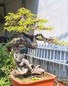 Bonsai Art, Bonsai Plants, Bonsai Garden, Tamarindus Indica, Jungle Gardens, Plantas Bonsai, Bonsai Styles, Mini Bonsai, Flowering Trees
