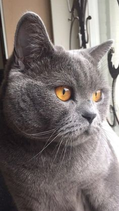 (Video) How to Prevent your Cat from Spraying ------------------------------------------------------------------- Grey Cats, Blue Cats, British Blue Cat, Chartreux Cat, Purebred Cats, Cat Traps, British Short Hair, Tier Fotos, Domestic Cat