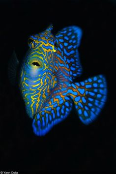 Triggerfish by Yann Oulia Beautiful Sea Creatures, Deep Sea Creatures, Animals Beautiful, Underwater Creatures, Underwater Life, Beneath The Sea, Under The Sea, Colorful Fish, Tropical Fish